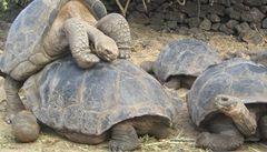 Vědci našli želvy, které uhynuly při páření před miliony let